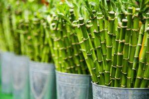 jeune pousse de bambou écologique